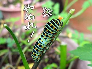臭角を出したキアゲハの幼虫