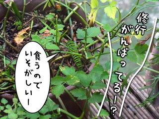 セリを食べるキアゲハの幼虫
