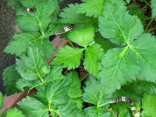 三つ葉のキアゲハ3齢幼虫と4齢幼虫